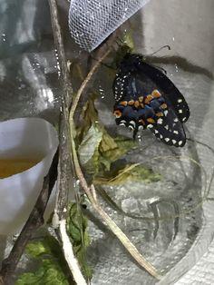First black swallowtail. 2015