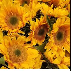 #sunflowers with #green centers  Which do you prefer brown or green centers? @_garciagreens #fall #flowers #lifestyle