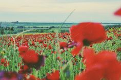 https://flic.kr/p/oTZRxF | Field of vintage poppies | May, 2014