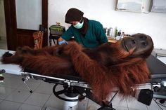 Picture of an Orangutan Looking Relaxed in a Doctor's Office