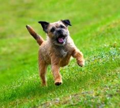 The Border Terrier is a small, rough-coated breed of dog of the terrier group. Originally bred as fox and vermin hunters.