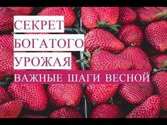 Секрет Богатого Урожая. Выращивание Клубники. Клубника Весной. (13.05.17) - YouTube
