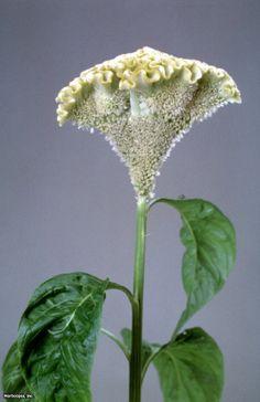 Cockscomb (Celosia argentea (Cristata Group) 'Bombay Yellow Gold')