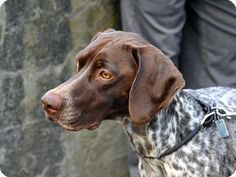 How to Train a German Shorthaired Pointer- a few great tidbits :)