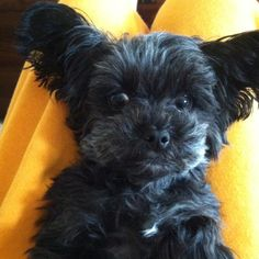 Yorkie poo<3 - love my Lucy's ears - just like these :)