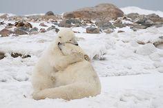 Wildlife, A Huge Bear Hug! The 'Polar Bear Capital of the.Funny Wildlife, A Huge Bear Hug! The 'Polar Bear Capital of the. Animals And Pets, Baby Animals, Funny Animals, Cute Animals, Wild Animals, Animal Hugs, Perfectly Timed Photos, Tier Fotos, Mundo Animal