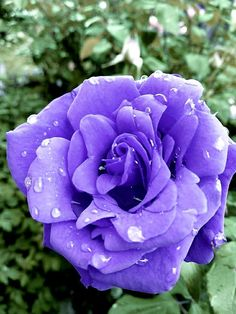 Purple Roses, Creative Crafts, Beautiful Roses, Amazing, Plants, Roses, Crystals, Backgrounds, Flowers