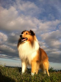 Very proud Sheltie