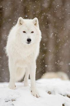 snow winter animals Black and White wolf nature wild wolve arctic wolf falling snow Arktischer Wolf, Wolf Husky, Wolf Love, Lone Wolf, Beautiful Creatures, Animals Beautiful, Cute Animals, Wolf Spirit, Spirit Animal