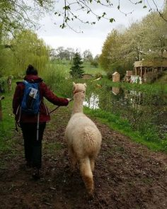 Alpaca Trekking with Temevale Alpacas | The Helpful Hiker