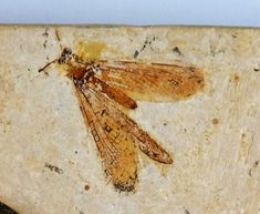 Prehistoric, Fossil, Moth, Insects, Animals, Animales, Animaux, Prehistoric Age, Animal