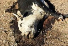 """the Bureau of Land Management committed horrific atrocities against cattle during its armed occupation and siege of Photos are now emerging of the mass graves where BLM hastily tried to bury the cattle they killed. BLM agents used government helicopters to run down cattle in 90+ degree heat while shooting the cows that couldn't keep up. The cattle that survived were then corralled into abusive """"bovine concentration camps"""" that resulted in many cattle dying from dehydration and stress."""
