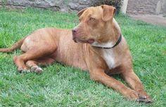 Perro American Pit Bull Terrier