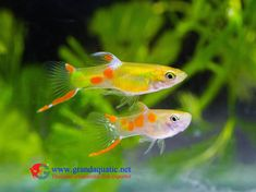 Endler Guppy Fish / Guppy fish for sale, View fancy guppies fish, Al-Aquarium Product Details from BANGKOK AQUA PLUS CO.,LTD. on Alibaba.com