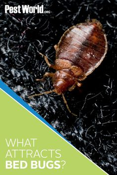 As their name suggests, bed bugs are commonly found in and around where you sleep. But have you ever wondered why that is? Head to PestWorld to get the answer! Household Cleaning Tips, House Cleaning Tips, Cleaning Hacks, Bed Bug Control, Pest Control, Insect Pest, Bed Bugs, Sleep, Braided Hairstyles