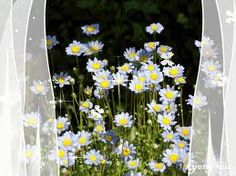 Daisies.......outside my window? I wish....sigh