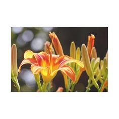 Lilies in the Sunshine Canvas Print