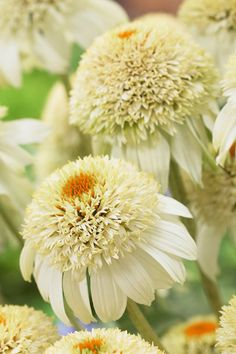 Echinacea 'Milkshake' ( cone flower )  So, I can bring all the boys to the yard....