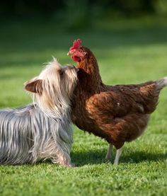 Tell me you love me!  http://www.backyardchickencoops.com.au/introducing-dogs-to-your-chickens