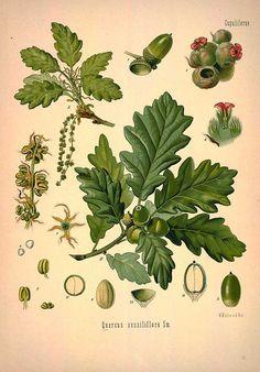 Quercus sessiliflora Sm. (Quercus petraea (Matt.) Liebl. ) Sessile oak or Durmast oak - Medicinal Botanical Plants