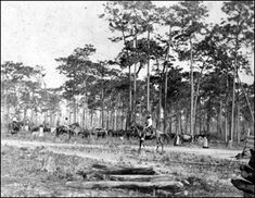 Cattle Drive near Bartow, FL, circa 1890's. During British rule (1763-1783), English planters and Creek Indians in west Florida owned substantial herds. Cowmen from Georgia and the Carolinas spread into north Florida during that period.    In early Florida, Europeans, Americans, and Indians stole cattle from each other. Rustling became particularly widespread by the second half of the 18th century, and was one of the elements that led to the Seminole Wars.