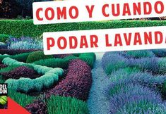 Cuándo y Cómo podar la Lavanda – Muy Importante tener en cuenta Garden Deco, Herb Garden, Vegetable Garden, Plantas Indoor, Regrow Vegetables, Flower Planters, Growing Plants, Bonsai, Cactus