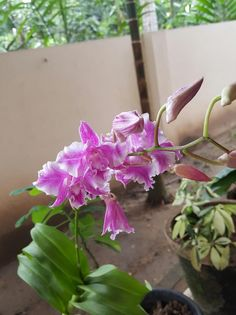Dendrobium Humming butterfly