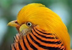 Faisan D'Or, Oiseau, Exotique