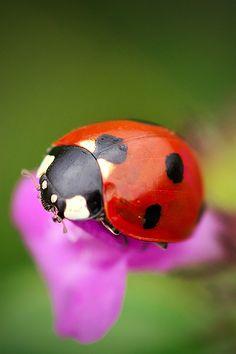 ladybug iPhone Wallpaper | iDesign iPhone