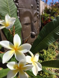 Frangipani Flowers ❤️