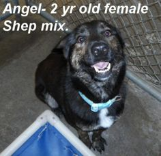 ***TO BE DESTROYED 06/19/14*** Angel is a very sweet 42 lb female shep mix . She seems to know some basic commands and loves attention. Angel is a 3 yr old shepherd mix breed girl. Watch her video to see her and hear her. Please don't leave this nice dog in the shelter. Call Silvia and Debbie now,,,,,Silvia is 910-876-0539 and Debbie is 339-832-0806. If Silvia's MD, NJ, PA, NY and the North East.
