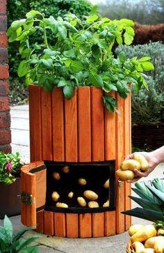 Potato Barrel: How to Plant Potatoes - Wooden Potato Barrel - Potato Barrels - Growing Potatoes in Containers Diy Garden, Edible Garden, Garden Projects, Garden Landscaping, Edible Plants, Planting Potatoes, Grow Potatoes, Potato Vines, Organic Gardening Tips