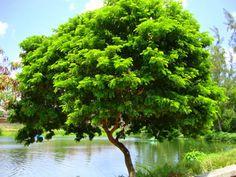 árvore pau brasil