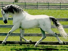 Andalusian, Pura Raza Española, stallion, Heroe MAC.