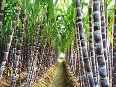 Sugar Cane Plant, Grape Vineyard, Veg Garden, Cannabis Plant, Exotic Fruit, Fruit And Veg, Exterior, Fruit Trees, Milky Way