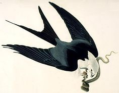 American Swallow Tailed Kite by John James Audubon