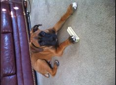 Can't help myself, this is Monte, he is for sale in Utah and is beautiful!   Five month old boxer/lab