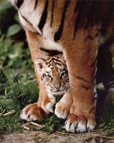 tigers! tigers! tigers!