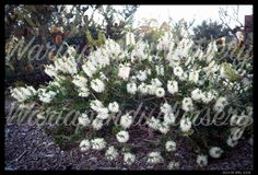 white Callistemon Citrinus,  'Anzac' is a small shrub,and is one of the best white flowered bottlebrushes. It grows to around a metre high and 3 metres wide. Prune every year after flowering.