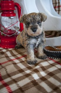 Adorable Mini Schnauzer Puppies from Ellie's Mini Schnauzers located near Radisson, Saskatchewan. Puppy snuggles, puppy breath, and wiggly tails are in abundance at Ellie's Mini Schnauzers. Follow our facebook page at www.facebook.com/elliesminischnauzers Mini Schnauzer Puppies, Miniature Schnauzer, Schnauzers, Artistic Fashion Photography, Puppy Breath, Pepper Color, Cute Puppy Videos, Snuggles, Abundance