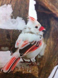 Rare and beautiful female albino Cardinal. Cardinal is Indiana's state bird.