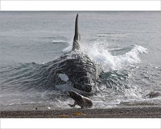Orcas, Badass Pictures, Baby Dolphins, Dolphins Animal, Lions Photos, Killer Whales, Ocean Life, Marine Life, Sea Creatures