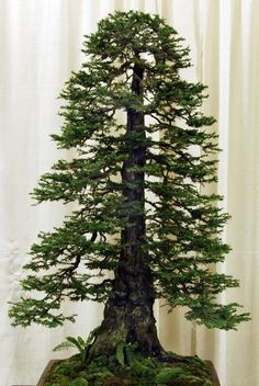 Bonsai Versions of the Worlds Tallest TreeMore Pins Like This At FOSTERGINGER @ Pinterest
