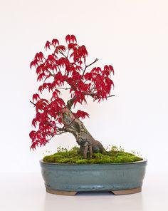 "Bonsai Tree - Japanese Maple (Acer Palmatum ""Deshojo"") Front View"