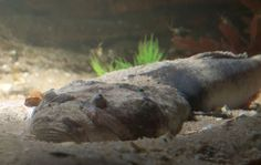 Stargazers! Top 15 Ugliest Sea Animals - Fun Facts for Kids