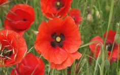 Poppies Wallpapers - Full HD wallpaper search - page 3