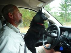 Driving lesson... I think all Schipperkes love to drive!
