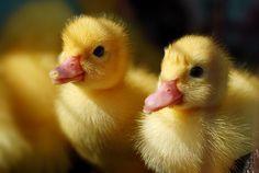 yellow baby ducks