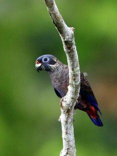 maitaca-roxa (Pionus fuscus) por Ester Ramirez | Wiki Aves - A Enciclopédia das Aves do Brasil