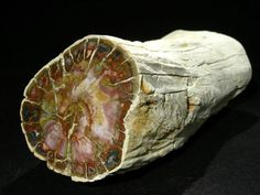 Petrified wood from Madagascar, 10 x 8 x 21cm. Petrified wood is a special type of fossilized remains of terrestrial vegetation. It is the result of a tree or tree-like plants having completely transitioned to stone by the process of permineralization. All the organic materials have been replaced with minerals (mostly a silicate, such as quartz), while retaining the original structure of the stem tissue.